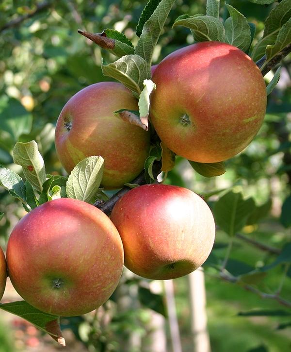 anciennes variétés de pommes