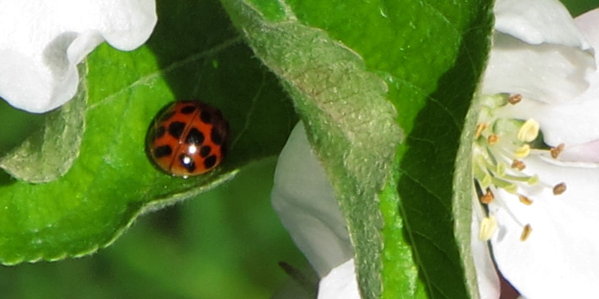 coccinelle sur feuille de Cox orange