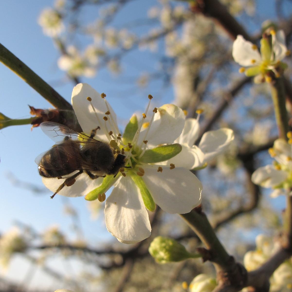 abeille sur fleur de prunier