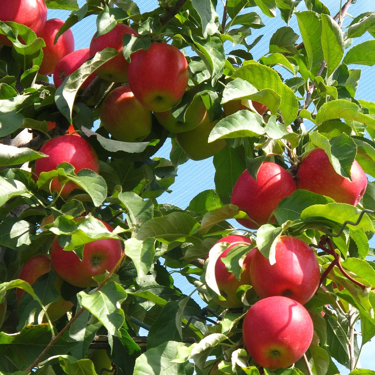 en automne, les pommes