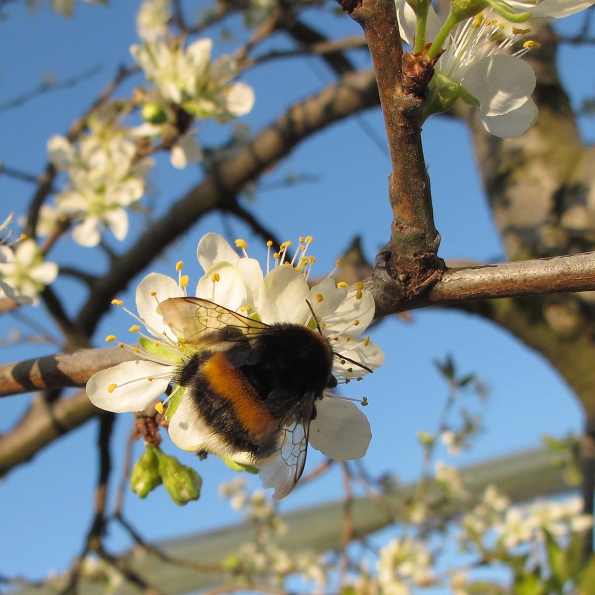 bourdon sur des fleurs de pruniers