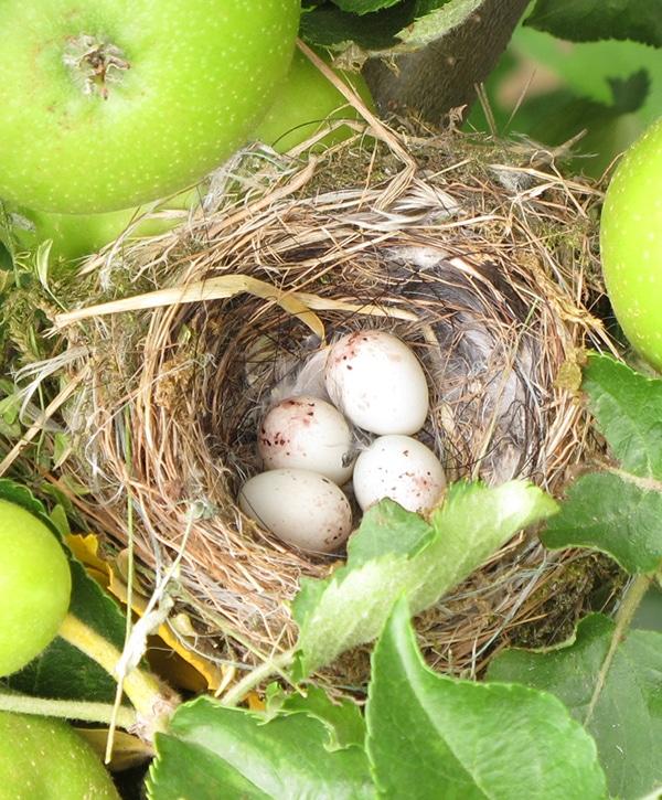 nid d'oiseaux dans nos vergers